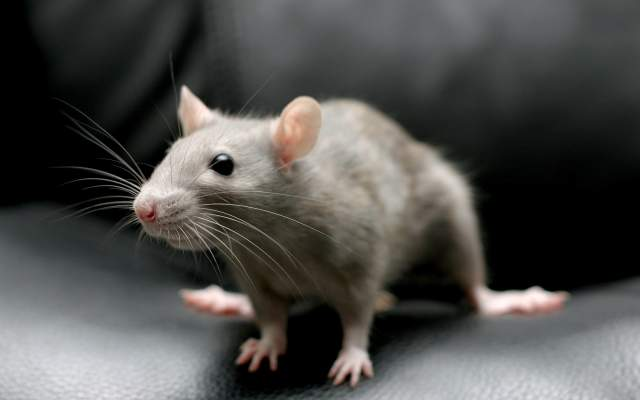 Khawab Main Choha Dekhna / Seeing A Mouse In The Dream