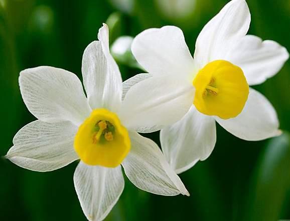 Khwab Mein Nargis Dekhna / Seeing Daffodil Flower In The Dream