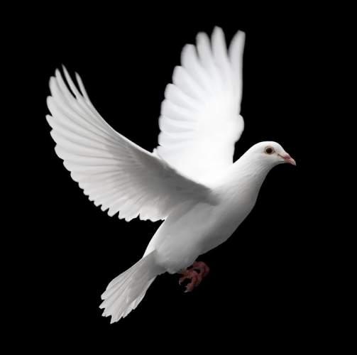 Khawab Mein Kabootar Dekhna / Looking At Pigeons In Dreams