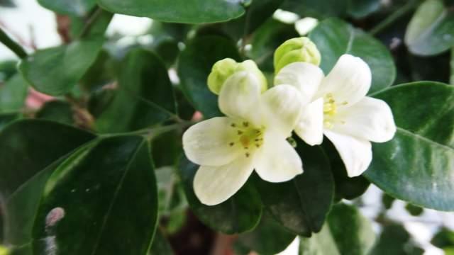 Khawab Mein Chanbeli Ka Phool Dekhna / Dreaming Of Jasmine Flower In The Dream