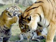 Two new born bengali tigers become the source of attraction for t ..
