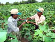 Guidelines for farmers to save cotton from rains