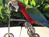 Chinese Macaw will ride a bicycle