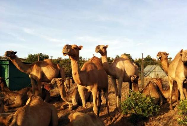 Drought has raised the camel milk industry in Kenya