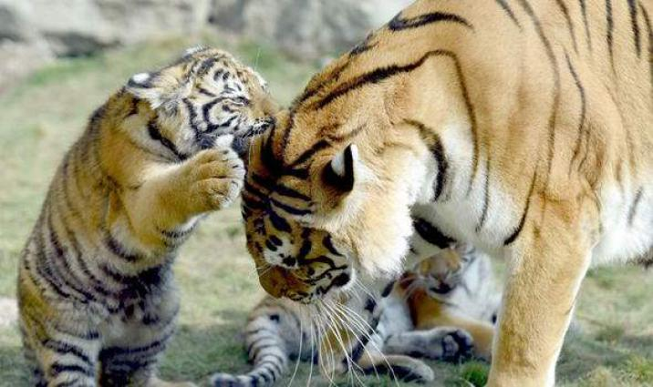 Two new born bengali tigers become the source of attraction for the public
