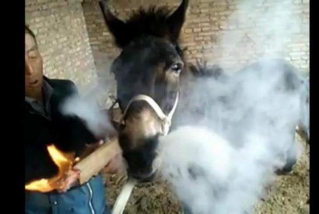 Donkey becomes a smoking addict