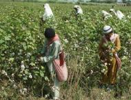 Health of cotton crop was better and result in more yield than la ..