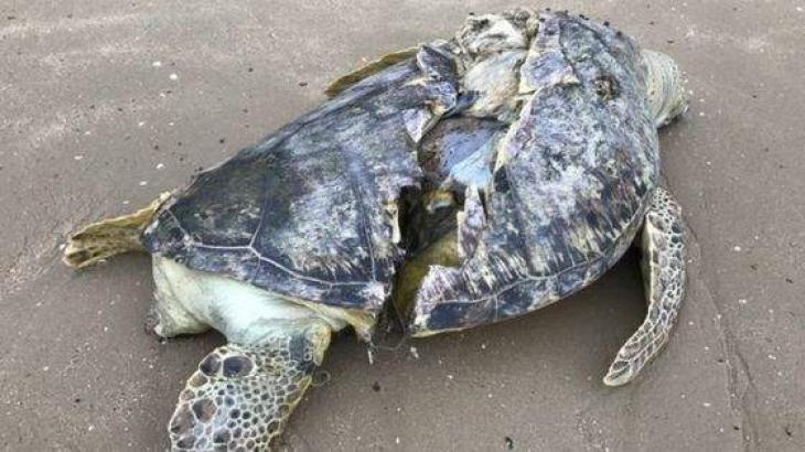 Sea turtle with sliced shell found dead on Singapore beach