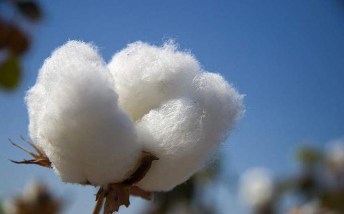 Cotton arrival in local market witnesses 11.72% increase