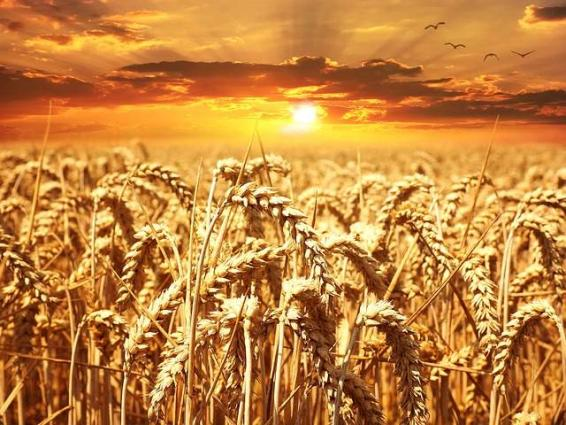 Wheat cultivation over 5 lakh acres in district in progress