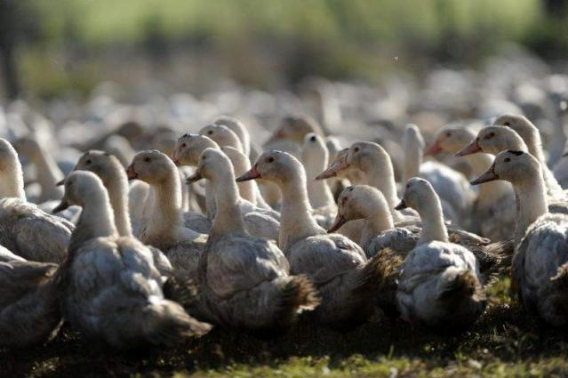 France launches mass duck cull to stem bird flu spread