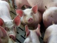 Pigs with edited genes show resistance to costly virus