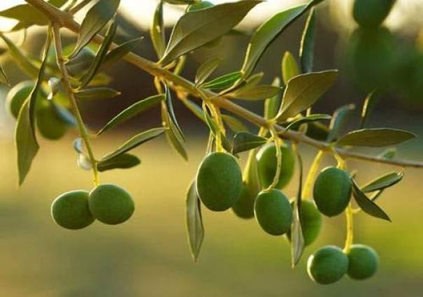 Image result for Olive Plants in punjab