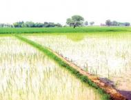 Rice growers stressed to adopt SRP standards to improve yield
