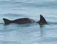Endangered vaquita porpoise dies in captivity