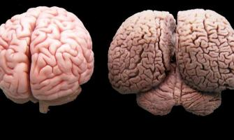 Animals with bigger brain size more intelligent