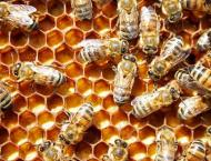 Local honey bees adapt better: study