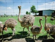 Punjab registers 134 ostrich farms in last two years