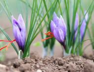Agriculturists promoting saffron farming in FATA as substitute to ..