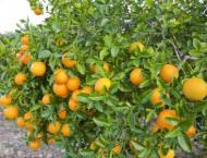 Citrus cultivation should be started immediately
