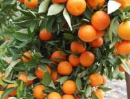 Farmers to get plants of date, seedless kinnow