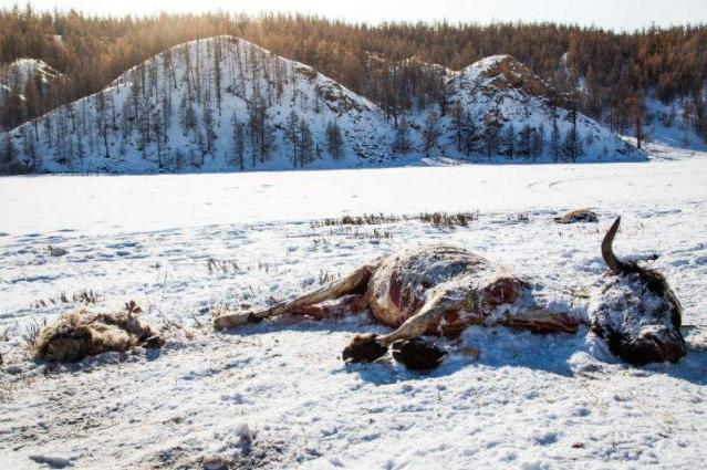 Over 700 thousand animals in Mongolia die from severe wintry weather