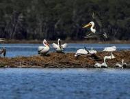 Albania's pelicans return to their lagoon 'kingdom'