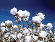 Cotton crop per acre yield up by 2.4% this year