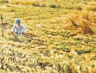 Rains affect wheat cutting process, have good impact on sugarcane ..