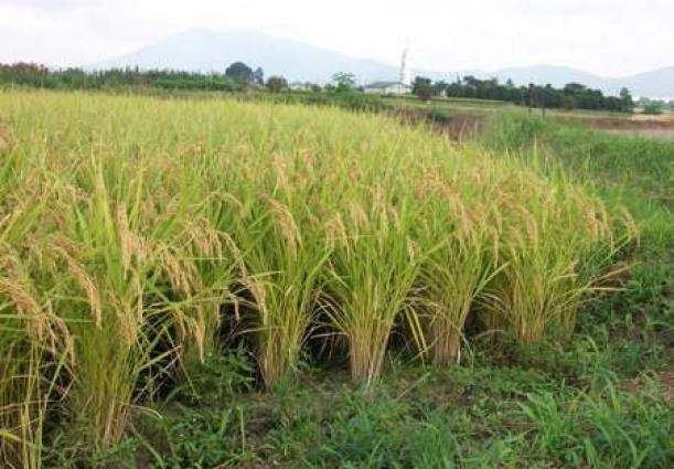 Speakers call for plan of action to ensure sustainable rice production