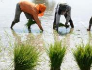 Growers advised to complete rice cultivation by June 30