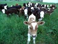 Livestock manage to control Foot and Mouth Diseases (FMD) of catt ..