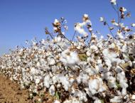 Cotton cultivation target surpassed in Faisalabad