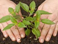 Pakistan Tobacco Company decides to distribute trees for free for ..
