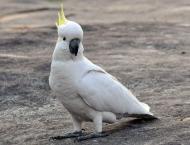 13th century cockatoo images spark Australia-Europe trade re-thin ..