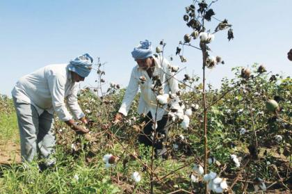 Pink Bollworm among top causes of decline in cotton yield