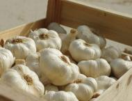 High-yield garlic variety introduced ahead of its growing seaosn ..