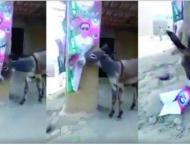 Following Imran Khan's 'donkey' remark, video of donkey tea ..