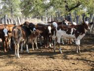 Two cattle thieves killed by villagers, another killed in firing  ..