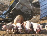 Number of cattle, pigs in S. Korea up in Q2