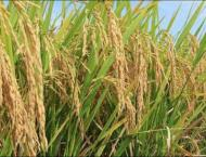 Hybrid rice cultivated over 800,000 hectares during current seaso ..