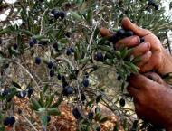Olive plants being provided to enhance olive production