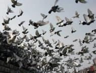 It's a bird... it's a train... China pigeon racers cause flap wit ..