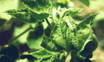 University of Agriculture Faisalabad to work on cotton leaf curl  ..