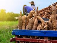 Gene editing leads to faster production of food-friendly cassava: ..