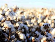Cotton farmers should continue pest scouting by mid-October