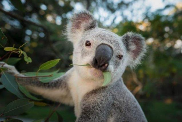 Koalas might be extinct by 2050 in NSW, study suggests