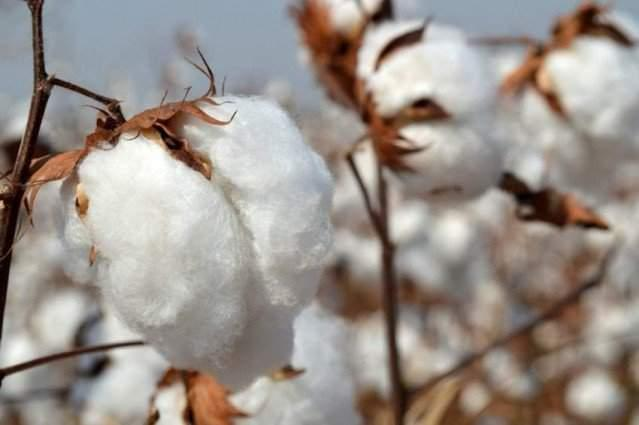 Pakistan facing huge loss due to polluted cotton