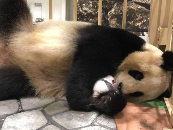 Japan-born panda cub to make public debut