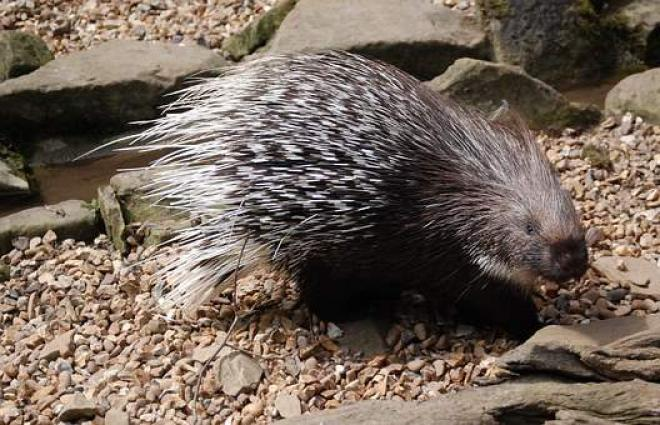 Porcupines found in Fujairah